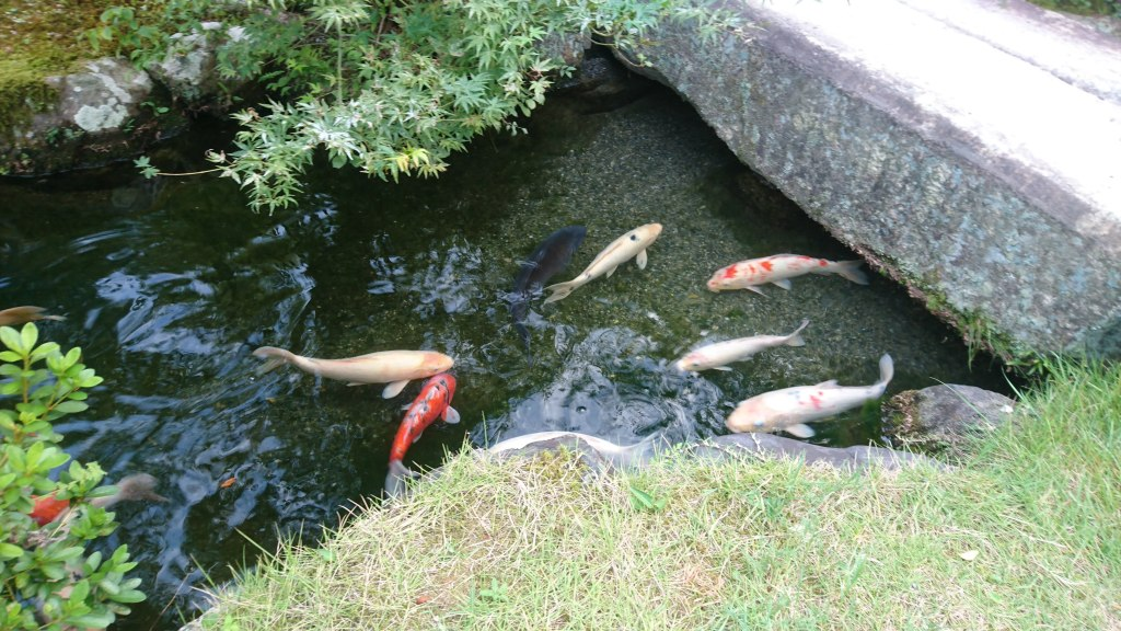 An image of different coloured Koi fish in a pond in Japan.